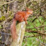 A long walk, a 2 hour wait but finally found my red squirrel :)
