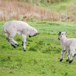 Leaping lambs
