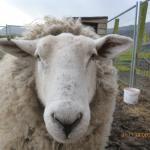 A Sheep on the farm