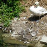 лебединая семейка