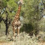 Alweer en giraffe