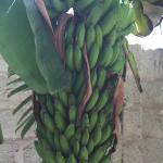 Bananen aus dem Garten (gibt's zum Frühstück)