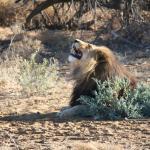 Unhappy Lion!