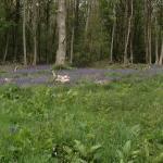 Bluebell woods around Great Bedwyn