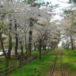 芦野公園の桜(津軽鉄道車内より)