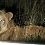 Female lioness at night