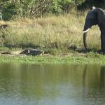 Elephant meets croc at watering hole