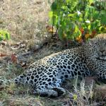 Leopard resting after mating