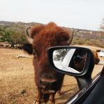 Zoofari Bison