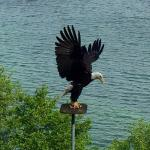 Bucket List Check! View the feeding of the Bald Eagles...