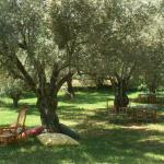 De olijfgaard met oude bomen