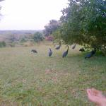 Guineafowls visit while we wait for sunset on loungers at lake side