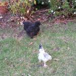 Friendly unusual chickens