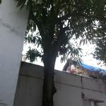 The mango tree in the garden