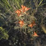 We have already spotted Indian Paintbrush
