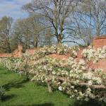 pear blossom on the espaliered fruit orchard...picnic time