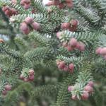 The Pinsapo Pine in spring