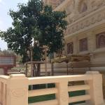 The bodhi tree from Sri Lanka and the throne of enlightenment