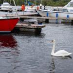 Swan and boats - Lough Derg