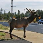 Bull elk joins us for our morning coffee.