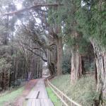 参道で出迎えてくれる生命感あふれる杉の樹