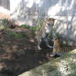 Tigerne slås.