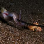 Baiting bobbit worm