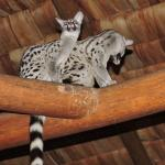 Two genets visit the lobby/dining area