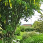 Lovely Laburnum in the garden