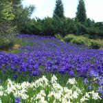 Iris Fields, Franklin, NC