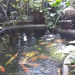 fish pond with prety koi fish