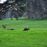 Kangaroos wandering wildly nearby