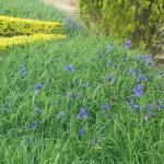Kombirei Flower