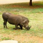 Resident warthog