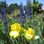 Iris smell wonderful.
