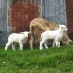 some lambs by the entrance to the trail