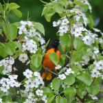 Beautiful Baltimore Orioel in Garden