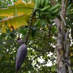 Banana with fruit and blossom