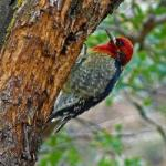 WOODPECKER AT THE CHUPAROSA INN BED & BREAKFAST