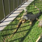 Hay iguanas y garrobos