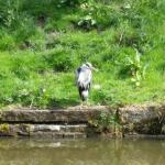 Spotted a Heron on my walks