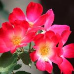 rosa coktail