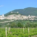 Saio vineyard looking up to Assisi