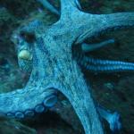 Riesiger Octopus