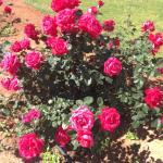 Шикарные розы на территории