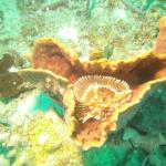 Feather duster attached to sponge diving below the Piton Mountains