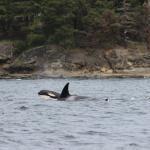 Resident Orcas