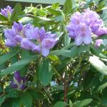 rhododendron near pool