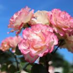 Keisei Rose Garden