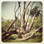Zaporizhzhya Oak Tree
